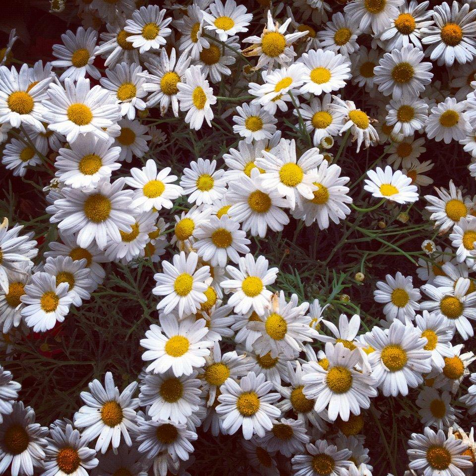 Daisy Flower Tumblr Themes | www.pixshark.com - Images ...